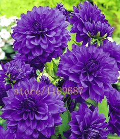 100 pcs Blue Dahlia Seeds Beautiful Gardens Dahlia pinnata Bonsai Plant Seeds Flower Seeds Perennial