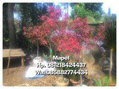 Tukang Taman Murah : Pohon Mapel Amerika | Maplle Daun Merah