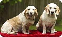 Glastonbury, CT - Beagle. Meet clyde and bonnie, a dog for adoption. http://www.adoptapet.com/pet/10892921-glastonbury-connecticut-beagle