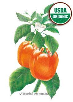 Pepper Sweet California Wonder Orange Organic HEIRLOOM Seeds