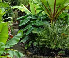 dwarf banana trees - grow like weeds here. It would be wonderful to create a raised bed around the pool to look like this.