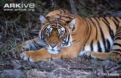 Bengal tiger lying on ground - View amazing Tiger photos - Panthera tigris - on Arkive Cat Species, Bengal Tiger, Pumas, Big Cats, Tigers, Flora, Rock, Animales, Species Of Cats