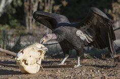 Halloween was made for California condors.