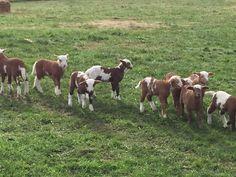 A few of our 2015 lambs Katahdin Sheep, Sheep And Lamb, Counting Sheep, Lambs, Goats, Outdoor Living, Life, Animals, Lamb