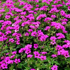 1000 images about plantes couvre sol on pinterest rock garden walls creeping phlox and spreads. Black Bedroom Furniture Sets. Home Design Ideas