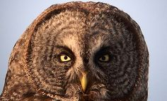 Yellowstone's Great Gray Owls