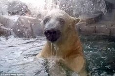 Polar bear headbutts glass enclosure to reach cuddly toy   Daily Mail Online