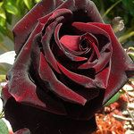 Black Magic Roses