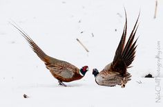 Pheasant Challenge - #birds #wildlife #nature