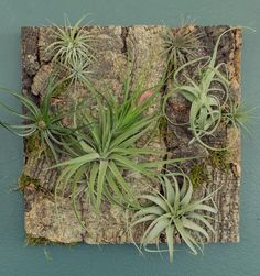 Create your own epiphytic garden with this collection of Tillandsias and glue - perfect for use with our cork panels, but also great with mossy branches, reclai