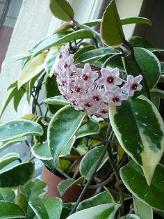 Hoya carnosa 'Variegata'