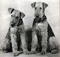 2 Curious Airedale Terrier Dogs Photographed by Ylla 1945