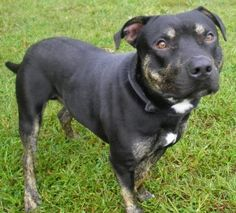 Odis is an adoptable Pit Bull Terrier Dog in Lincolnton, NC. At Lincoln County Animal Services, there is an $85 dollar adoption fee. This fee covers the following services for your pet: * Spay or Neut...