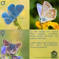 Bel Argus ou Bleu Azuré celeste  ; #insectes #InsectHotel #insecte #nature #biologie #animal #animaux #biodiversité #biodiversity #faune #wildlife
