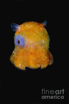 Flapjack Octopus Photograph by Dante Fenolio