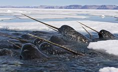 """Narwhals seen along the floe edge in Arctic Bay, Canada. The whales are pushing under the ice to feed on cod. They come up in seal holes and rotten ice in order to catch a breath. This undated photo is part of an exhibit titled ""Irreplaceable: Wildlife in a Warming World..."" (Paul Nicklen/National Geographic Image Collection)"
