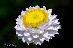 Strohblume  von KreativesbyPetra #Strohblume #flowerc #wien #vienna #botanischergarten #belvederev #canon #CanonEOS Petra, Canon, Plants, Photos, Pictures, Cannon, Photographs, Plant, Planting