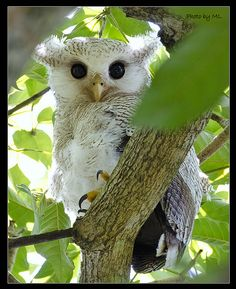 Juvenile Barred Eagle Owl by M.Louise: Resident of lowland forests of the South Pacific.  #Barred_Eagle_Owl   :0) So cute!