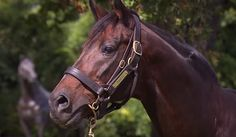 Champion racehorse and sire Zabeel died overnight in New Zealand, aged 29. 25-9-2015. The 1990 VRC Australian Guineas winner's feats on the track were usurped by his performance at stud, which saw him sire 44 different Group 1 winners - including Octagonal, Might And Power, Efficient, Sky Heights, Jezabeel, Maldivian, Zavite and Fiumicino. Zabeel will be buried alongside his father, Sir Tristram, at his Cambridge Stud home in New Zealand.