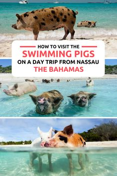 Visit the Bahamas Pigs, the world famous Swimming Pigs in the Exumas on a day trip from Nassau Baham Bahamas Pigs, Les Bahamas, Bahamas Honeymoon, Atlantis Bahamas, Bahamas Island, Bahamas Vacation, Bahamas Cruise, Vacation Trips, Day Trips