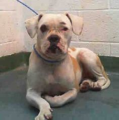 DOT (A1677110) I am a female white and tan Boxer mix. The shelter staff think I am about 2 years old. I was found as a stray and I may be available for adoption on 02/09/2015. — hier: Miami Dade County Animal Services. https://www.facebook.com/urgentdogsofmiami/photos/pb.191859757515102.-2207520000.1422916306./921759701191767/?type=3&theater