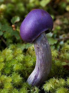 Amanita viridis (rare mushroom)