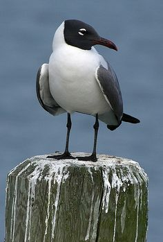 laughing gull, Laridae family......... style of the top of the lettering..dribbles