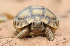 Resultado de imagen para tortuga Turtle, Animals, Internal Medicine, Long Nails, Woods, Getting To Know, Earth, Spirituality, Turtles