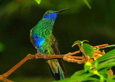 The blue-chinned sapphire (Chlorestes notatus) is a hummingbird that breeds from Colombia south and east to the Guianas, Trinidad, Peru, and Brazil.