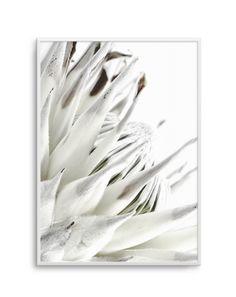 White King Protea Art Print or Poster Framed Prints Online, Protea Art, King Protea, Poster Prints, Art Prints, Posters, Floral Prints, White King, Artwork Online
