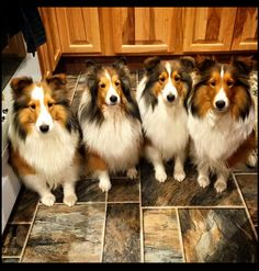 A Gang of Shelties