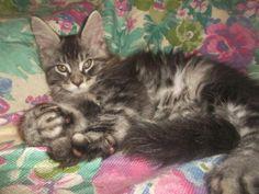 Rosa del deserto Corsaro Nero, male Maine coon kitten. Black silver tabby.