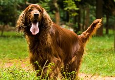 Irish Setter Breed Information - Irish Setters originated as gundogs in their native Ireland. Read more Irish Setter breed information here. http://topdogumentary.com/irish-setter-breed-information/ ‪#‎IrishSetter‬ ‪#‎DogBreedInformation‬