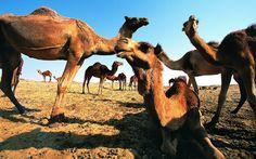hd wallpaper camel