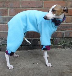 I Italian Greyhound, Greyhounds, Colourful Outfits, Dogs, Animals, Animales, Animaux, Pet Dogs, Doggies