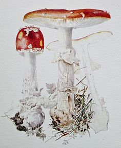 Fungi illustration by English author, illustrator, natural scientist and mycologist Beatrix Potter Botanical Drawings, Botanical Illustration, Botanical Prints, Illustration Art, Beatrix Potter Illustrations, Beatrice Potter, Cumbria, Art Nouveau, Mushroom Art