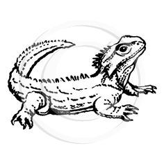 Tuatara free coloring pages Tuatara Pinterest
