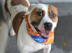 SAFE 01/04/15 --- Brooklyn Center  TOPPER - A1019131  MALE, WHITE / BROWN, PIT BULL MIX, 2 yrs SEIZED - ONHOLDHERE, HOLD FOR EVICTION Reason OWN EVICT  Intake condition EXAM REQ Intake Date 10/29/2014, From NY 11206, DueOut Date 11/06/2014  https://www.facebook.com/photo.php?fbid=898524643493749