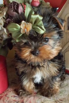courtashyorkies.com t-cup yorkie. 3 months old. party carrier. 949 306-1484