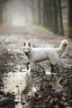 I simply MUST have a white German Shepherd one day.