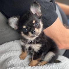 Beau - Chihuahua Beau is 12 weeks old and is friendly, lovable and very playful and he has a family that absolutely adores him! Chihuahua Puppies, Cute Dogs And Puppies, Very Cute Dogs, Chihuahuas, Pet Dogs, Cute Baby Animals, Animals And Pets, Funny Animals, Mundo Animal