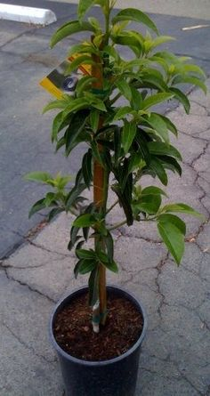 Stuart Avocado Tree Holiday Special-Shipped in Soil Throughout The Winter, Five Gallon Container Hass Avocado Tree, Avocado Varieties, Tree Seedlings, Healthy Seeds, Tree Seeds, Fruit Plants, Growing Tree, Live Plants, Earth