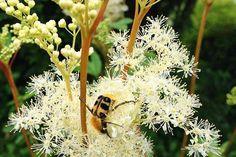 Bild von retemirabile [CC-BY-SA-2.0] - Mädesüß ist eine vielseitige traditionelle Heilpflanze aber auch in der Küche lecker einsetzbar. Die wichtigsten Tipps zum Anbau, Sammeln und Zubereiten!