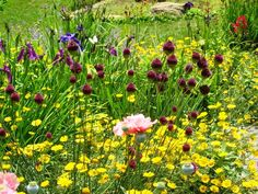 Allium atropurpureum at Chanticleer Move In Silence, Finding God, Garden Quotes, Garden Of Eden, Nature Tree, Allium, Nature Quotes, Grass, Things To Do