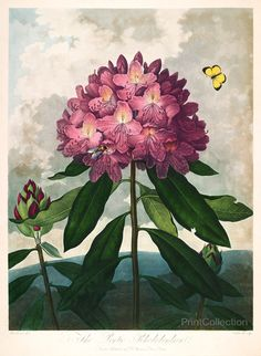 Robert John Thornton,åÊPontic Rhododendron from the The Temple of Flora folio published in London between 1777 and 1807 as aåÊAquatint and mezzotint with stipple engravings and completed by hand.åÊOri