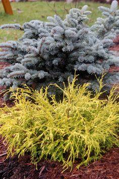The Nitty Gritty Potager: More December Ramblings Evergreen Landscape, Evergreen Garden, Dwarf Evergreen Shrubs, Garden Shrubs, Garden Plants, Sarah's Garden, Vegetable Garden, House Plants, Outdoor Plants