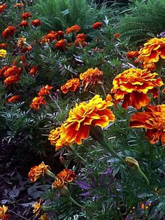 Marigolds ~> Stratoz: Wordlessly celebrating the plants we care for at school