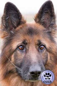 Central German Shepherd Rescue wishes Maya, a 7 year old female German Shepherd best wishes in her adoption from CGSR. Female German Shepherd, German Shepherd Rescue, German Shepherds, 7 Year Olds, Maya, Charity, Abandoned, Your Dog, Corgi