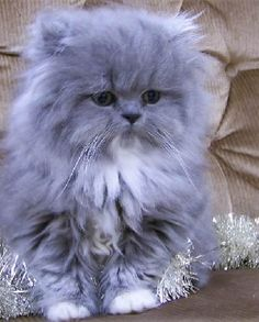 blue smoke persian kitten blue smoke persian kitten Related Adorable Animals You Will LoveHerrenschuheCalico Cutie - March 2019 - We Love Cats and Kittens Cute Kittens, Kittens And Puppies, Pretty Cats, Beautiful Cats, Animals Beautiful, Beautiful Gorgeous, Absolutely Gorgeous, Himalayan Kitten, Cute Baby Animals