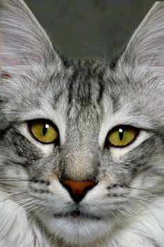 All Cats Are Great http://www.mainecoonguide.com/where-to-find-maine-coon-kittens-for-sale/